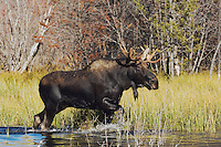 Moose, Alces alces, young bull walking in pond, Grand Teton NP,Wyoming, USA