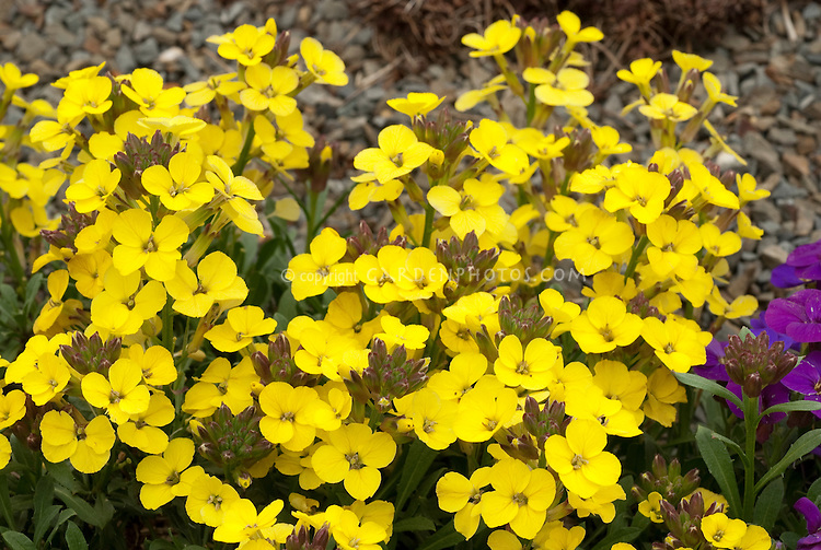 Erysimum 'Canaries Yellow' annual wallflower, cool-season flowers