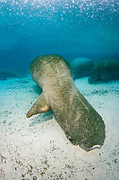Florida Manatee, Trichechus manatus latirostris, A subspecies of the West Indian Manatee. Photo showing resting manatee with severe tail damage possibly due to a boat propellereller. Crystal River, Florida.