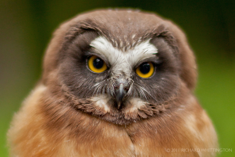 The Saw-whet Owl is a tiny bird about the size of a man''s fist and is named after it's song of whistled toots resembling a saw blade being sharpened on a whetstone.