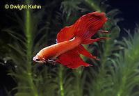 BY02-011z  Siamese Fighting Fish - male - Betta splendens