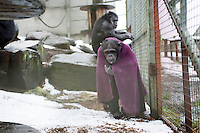 Chimp, Nakima venture into the snow at the Ape and Monkey Santuary near Coelbren in the Swansea Valley in South Wales.