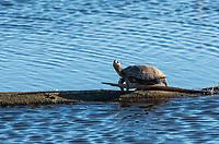 Northwestern Pond Turtle, Actinemys marmorata, basks on a log in Sacramento National Wildlife Refuge, California