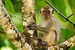 Long-tailed Macaque (Macaca fascicularis) young, Tawau Hills Park, Sabah, Borneo, Malaysia