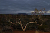Uluru, Australia. Uluru at dusk looking mysterious with a desert tree in the foreground.