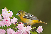 Female Baltimore Oriole or Northern Oriole (Icterus galbula) perched on flowering  limb.  Great Lakes Region.  Spring.