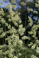 Wiesen-Knäuelgras, Wiesenknäuelgras, Knäuelgras, Knäulgras, Knaulgras, blühend, Ähre, Blütenstand, Dactylis glomerata, Cocksfoot, cock's-foot, orchard grass, cat grass, Dactyle
