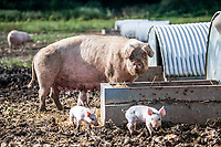 BNPS.co.uk (01202 558833)<br /> Pic: MaxWillcock/BNPS<br /> <br /> Pictured: Pigs outside at Allenford Farm.<br /> <br /> A pig farmer is closing his business after over 50 years due to the staffing crisis within the industry.<br /> <br /> Robert Shepherd, 58, a second generation farmer, faces culling 10,000 pigs in the coming weeks due to a drastic shortage of abattoir workers.<br /> <br /> Mr Shepherd usually sends 400 pigs to market a week but they are now backing up at his 2,000 acre Allenford Farm in Damerham, near Fordingbridge, Hants, due to the lack of butchers and HGV drivers to transport them.<br /> <br /> He said the staffing crisis has been the final straw following pressure put on his business due to Covid and he is now closing his pig farm that has been going since 1963.