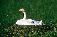 Singschwan, brütend auf Nest, Bodennest, Sing-Schwan, Schwan, Cygnus cygnus, whooper swan