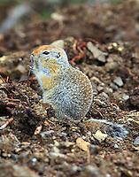 Arctic Ground Squirrel AK