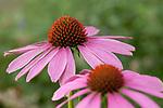Europa, DEU, Deutschland, Nordrhein-Westfalen, Niederrhein, Duisburg, Sonnenhut, Purpur-Sonnenhut (Echinacea purpurea) , Natur, Umwelt, Pflanzen, Pflanzenkunde, Botanik, Biologie, Die Sonnenhuete (Echinacea) auch Scheinsonnenhuete oder Igelkoepfe genannt, sind eine Pflanzengattung aus der Familie der Korbbluetler (Asteraceae). Quelle - https://de.wikipedia.org/wiki/Sonnenh%C3%BCte_(Echinacea)<br /> <br /> [Fuer die Nutzung gelten die jeweils gueltigen Allgemeinen Liefer-und Geschaeftsbedingungen. Nutzung nur gegen Verwendungsmeldung und Nachweis. Download der AGB unter http://www.image-box.com oder werden auf Anfrage zugesendet. Freigabe ist vorher erforderlich. Jede Nutzung des Fotos ist honorarpflichtig gemaess derzeit gueltiger MFM Liste - Kontakt, Uwe Schmid-Fotografie, Duisburg, Tel. (+49).2065.677997, ..archiv@image-box.com, www.image-box.com]