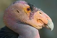California Condor (Gymnogyps californianus).(San Diego Wild Animal Park, San Diego, CA)