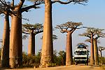 Grandidier's baobabs (Adansonia grandidieri) - local bus driving through the famous Alle de Baobab (UNESCO World Heritage Site), near Morondava, western Madagascar.