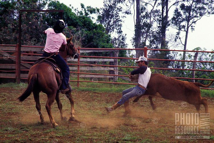 Paniolos (Hawaiian cowboys) in action, Parker Ranch, Waimea (Kamuela)
