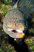 Whitemouth Moray Eel (Gymnothorax melegris). Hawaiian name is Puhi.