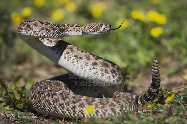 Western Diamondback Rattlesnake (Crotalus atrox), adult in defense posture, Sinton, Corpus Christi, Coastal Bend, Texas, USA