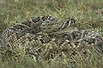 Western Diamondback Rattlesnake found in south Texas