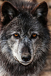 grey wolf mixed chocolate color phase facing camera close-up of face, vertical