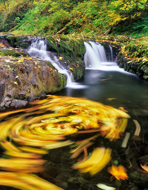 Big Leaf Maple leaves swirling in North Fork Silver Creek. Silver Falls State Park, Oregon.