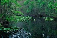 Spatterdock and red maples<br /> Cypress Swamp Trail<br /> Highlands Hammock State Park<br /> Highlands County,  Florida