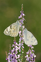 Checkered White (Pontia protodice), adult feeding on Texas Vervain (Verbena halei), Laredo, Webb County, Texas, USA