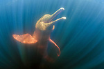 Amazon river dolphin (Inia geoffrensis) Amazonas, Brazil