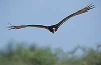 Turkey Vulture, Cathartes aura, adult in flight, Willacy County, Rio Grande Valley, Texas, USA, April 2004