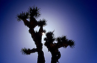 Joshua tree against the sun in California, USA