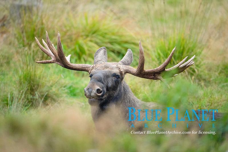 Elk (Alces alces) Bull, Sweden, Europe