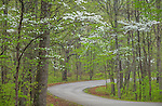 Brown County State Park, Indiana: Curving road through a foggy hardwood forest in early spring with flowering dogwood trees (Cornus florida)