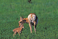 Pronghorn Antelope (Antilocapra americana) newborn fawn stands tentatively as mother finishes licking off birth residue. Spring, Yellowstone National Park, Wyoming, USA.