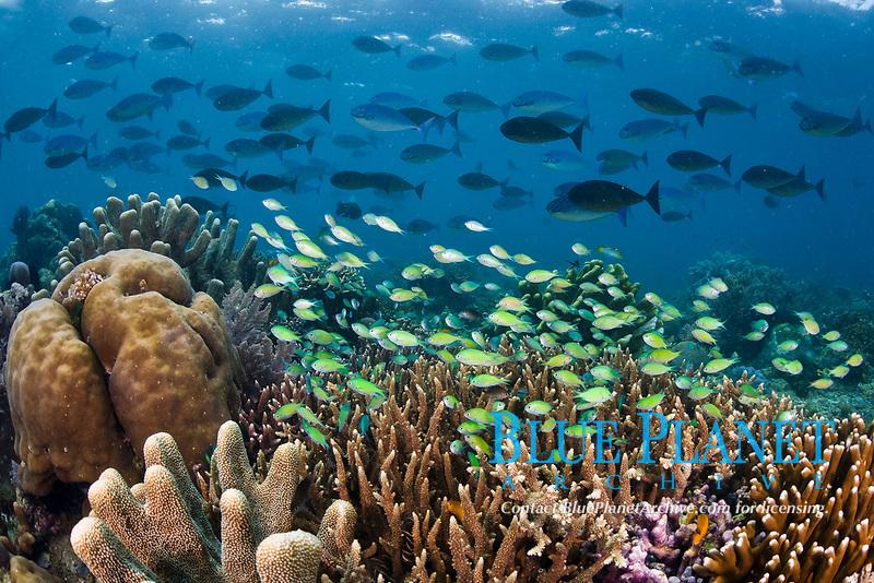 Schools of Blue-green damselfish, Chromis viridis, and Gray unicornfish, Naso caesius, swarm over a hard coral reef. Reef-building corals provide habitat for small reef fishes. Batanta Island, Raja Ampat, Papua, Indonesia, Pacific Ocean