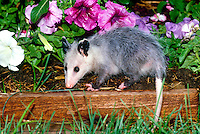 Wet baby opossum explores bed of colorful petunias after rainfall