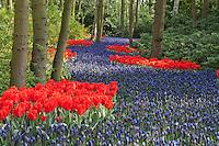 """Hollande, région des champs de fleurs, Lisse, Keukenhof, rivière de Muscari latifolia bordée de tulipes rouges 'Rob Verlinden' (Tulipa greigii 'Rob Verlinden') // Holland, """"Dune and Bulb Region"""" in April, Lisse, Keukenhof, river of Muscari latifolia or Grape Hyacinth surrounded by tulips 'Rob Verlinden' (Tulipa greigii 'Rob Verlinden')."""