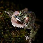 Adult mossy leaf-tailed gecko (Uroplatus sikorae) cleaning eye with tongue. Masoala National Park, Madagascar.