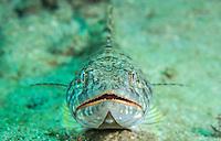 Close up of a Sand Diver