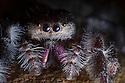 Regal Jumping Spider {Phidippus regius} female. Captive, originating from North America. website