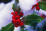 Detail of red berries and leaves of a holly tree covered in snow.