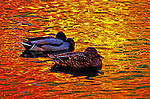 A pair of Mallard ducks rests quietly on a golden pond, which is reflecting fall colors from trees overhanging the water.  A rare moment.