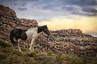 Wild Paint - Stallion - Colorado<br /> Little Bookcliffs Wild Horse Preserve