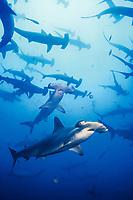 scalloped hammerhead shark, Sphyrna lewini, schooling, Cocos Island, Costa Rica, Pacific Ocean