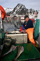 Fisherman guts fish on his boat in Svolvær harbour. Cod fishing is a traditional practice in Lofoten, home to around 24,500 people and and an area where locals have been producing Stockfish for over 1000 years. Lofoten is where the World's largest and last cod stocks are found, in the Barent's Sea. Fishing is as strong an industry as tourism in this region.