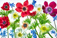 Flower arrangement of mostly anemone flowers.