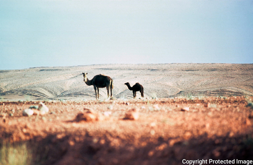 World Civilization:  Morocco--Dromedary camels in South Morocco.  Photo '91.