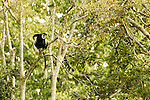Mantled Colobus (Colobus guereza) scratching in rainforest tree, Kibale National Park, western Uganda