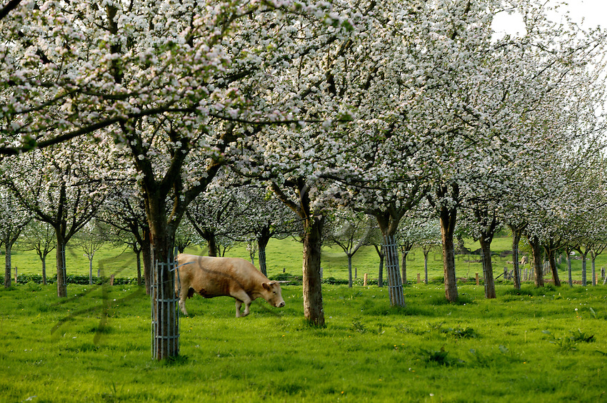 Apple trees in bloom are one of the classic images of Normandy.