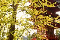 Japanese Tea Garden in Golden Gate Park, San Francisco, California. Ginkgo tree and Pagoda.