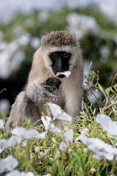 Vervet Monkey (Chlorocebus pygerythrus) eating tissue flowers, Africa.  Common monkey of the african savannas--here on the Serengeti Plains.