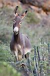 Donkey (Equus asinus) feral female on mountain side, Hawf Protected Area, Yemen