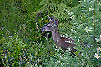 A young male buck deer emerges from the bushes in Occidental California